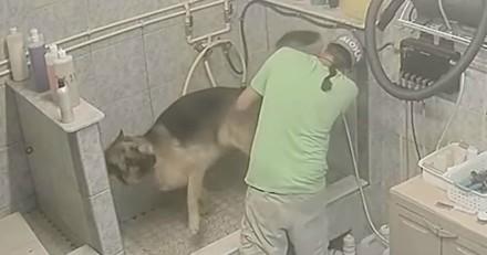 Filmé, le toiletteur casse la queue d'un chien qui refusait de bouger et ne s'arrête pas là ! (Vidéo)