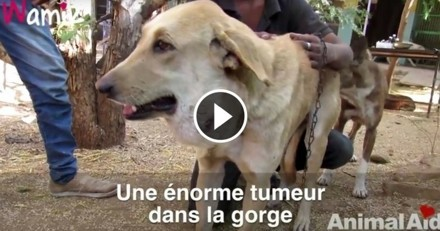 Ce chien qui avait une énorme tumeur a été sauvé in extremis (Vidéo du jour)