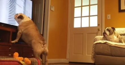 Pendant son absence, il laisse la tv allumée, filme ses chiens et n'en croit pas ses yeux (Vidéo du jour)