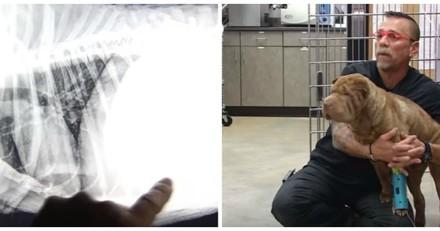 Il fait passer une radio à un Shar Pei fatigué, ce qu'il voit est totalement fou (Vidéo)