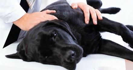 Il emmène sa chienne chez le vétérinaire pour un contrôle : il n'en revient pas de ce qu'il découvre dans sa vessie !