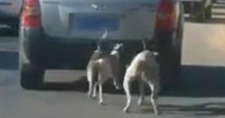 Il traine ses chiens derrière sa voiture en marche et donne une explication hallucinante