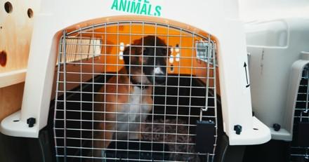 Elle rentre de Tunisie avec ses chiens, l'un d'eux est euthanasié après quelques heures