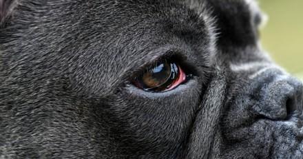 Pourquoi mon chien a les yeux rouges ?