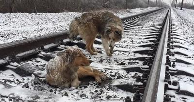 Un chien courageux met sa vie en péril pour sauver celle d'une chienne blessée entre des rails