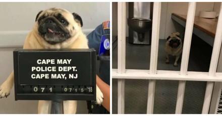 Ce chien a été arrêté par la police pour une très bonne raison