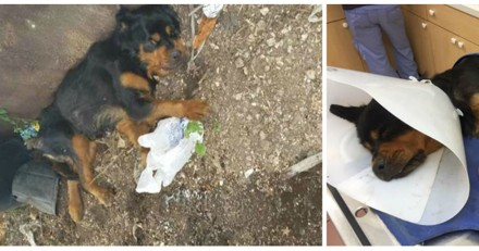 Abandonnée dans une décharge, cette chienne a la plus triste des histoires