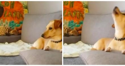 Cette chienne a une réaction très amusante quand elle entend le générique des Feux de l'amour (Vidéo)