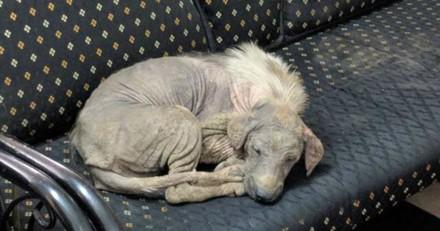 Ce chien malade a eu la meilleure des idées pour recevoir de l'aide, aujourd'hui il est méconnaissable