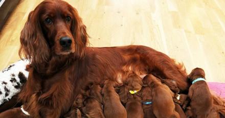 Leur chienne met au monde 9 chiots, lorsque le dernier arrive c'est la surprise totale (Vidéo)