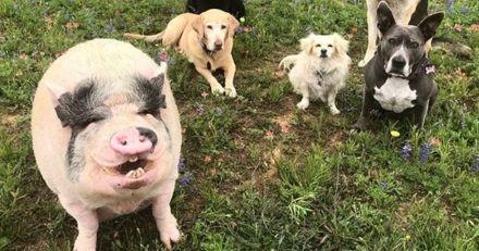 Cette propriétaire de 5 chiens a adopté un cochon : maintenant, il se prend pour l'un d'eux !