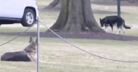 Joe Biden : ses chiens Champ et Major s'installent à la Maison Blanche