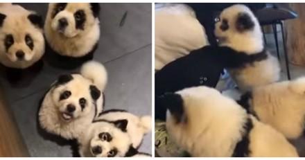 Il entre dans un café et n'en croit pas ses yeux quand il voit des pandas partout : le vérité est effrayante