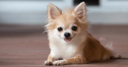 Sauvetage d'une Chihuahua jetée dans une benne : chez le vétérinaire, sa famille découvre l'impensable