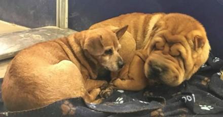 Ce Shar-Pei aveugle et ce Chihuahua affrontent la vie ensemble et font fondre le coeur de tout le monde