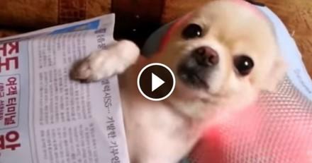 Ce Chihuahua est complètement fan de massages ! (Vidéo du jour)