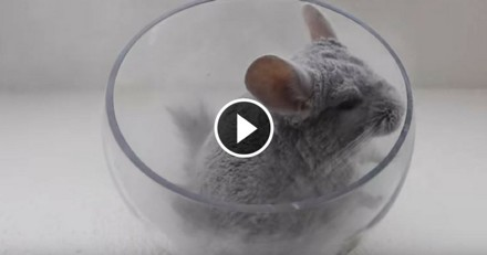 Dans son bain de sable, ce chinchilla est le plus heureux du monde ! (Vidéo du jour)