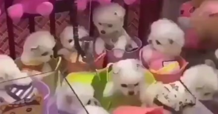 Des chiots à gagner dans une machine de fête-foraine : des images CHOC (Vidéo)