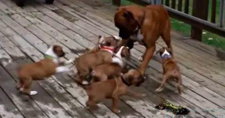 Face à tous ces petits chiots qui le suivent partout, ce papa Boxer n'a qu'une seule idée en tête : s'enfuir ! (Vidéo)