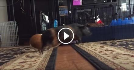Ces adorables cochons d'Inde sont prêts à tout pour suivre leur maîtresse ! (Vidéo du jour)