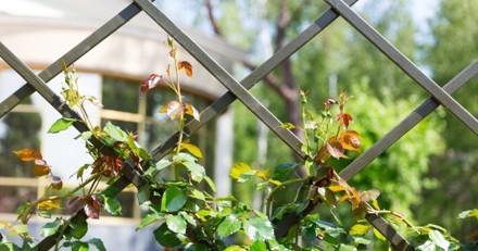 Il passe devant chez sa voisine et regarde par-dessus la clôture : il est estomaqué par ce qu'il voit dans le jardin
