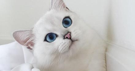 Coby, le chat aux grands yeux bleus le plus chou d'Internet