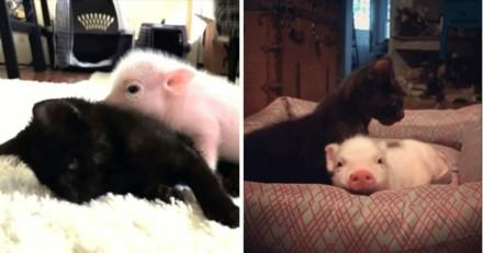 Elle adopte un petit cochon pour aider son chat malade : ce qui se passe entre eux est digne d'un film Disney !