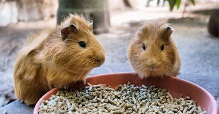Comment assurer le bien-être de mon cochon d'Inde ?