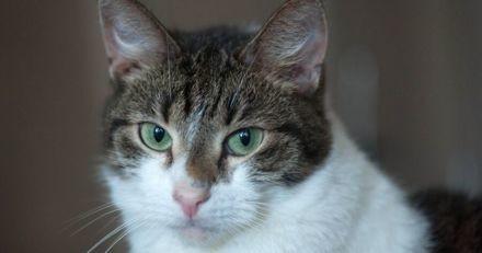 Copy Cat, le premier chat cloné du monde, vient de fêter ses 18 ans !