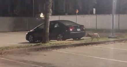 L'animal sauvage s'approche de la voiture : la police est prête à intervenir, mais rien ne se passe comme prévu (vidéo)