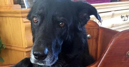 Ce chien ne pouvait pas manger sans se tenir debout, alors sa famille a construit une chaise spéciale