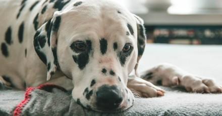 Le Dalmatien souffre pendant sa mise-bas : une créature extrêmement rare vient au monde !