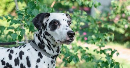 Sa chienne Dalmatien met au monde ses petits : le lendemain des millions de personnes sont ébahies