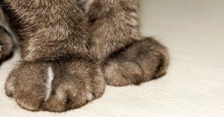 Dégriffage chez le chat : qu'est-ce que l'onyxectomie, et quelles sont les alternatives qui existent ?
