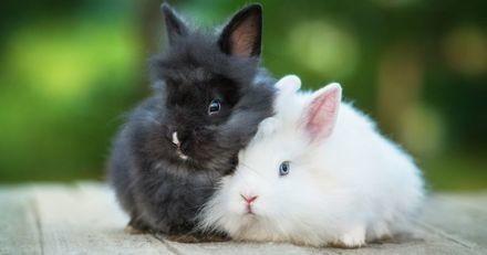 Quelles sont les différentes races de lapins nains, et quelles sont leurs particularités ?