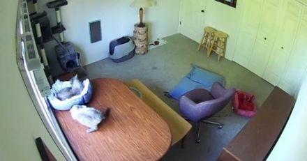 Il laisse ses deux chatons seuls : quand il voit les images de la caméra de surveillance, il n'en croit pas ses yeux ! (Vidéo)
