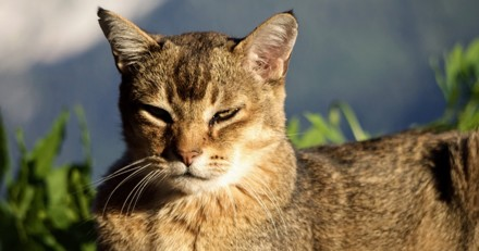 Diabète chez le chat : causes, symptômes et traitement