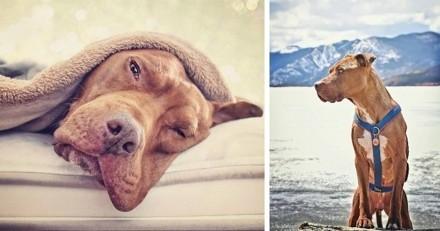 La belle histoire de Diego, le Pitbull le plus charismatique d'Instagram