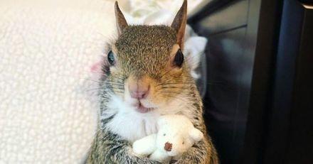 Cet écureuil sauvé d'un ouragan n'arrive pas à dormir sans son nounours