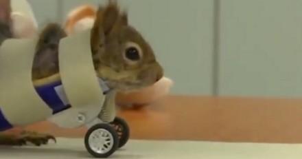 Un écureuil amputé apprend à marcher avec des roulettes adaptées (Vidéo)