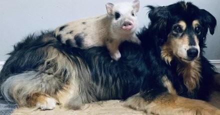 Surprise à la ferme : le chien s'approche de ce cochon de 5 semaines et sa réaction est improbable