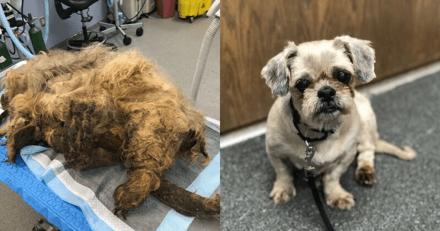 Retrouvée avec 9 kilos de bourres de poils, cette chienne est désormais méconnaissable