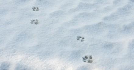 Il voit ses chiens creuser dans la neige, en s'approchant il réalise qu'il n'y a pas une seconde à perdre
