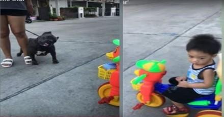 Un petit garçon en tricycle s'approche d'un Pitbull : tout le monde retient son souffle