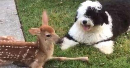 Ce chien a eu des étoiles plein les yeux lorsqu'il a rencontré un faon pour la première fois (Vidéo)