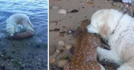 Héroïque, un chien plonge dans la mer pour sauver un faon de la noyade !