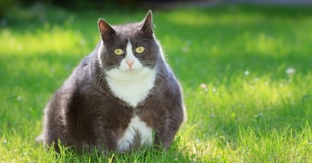Dans le monde, plus de la moitié des chats domestiques sont en surpoids