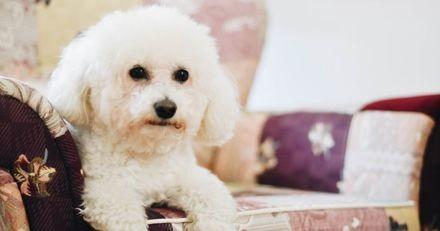 Un papi entre dans un magasin de meubles et dépose son chien sur un fauteuil : tout le monde reste bouche bée