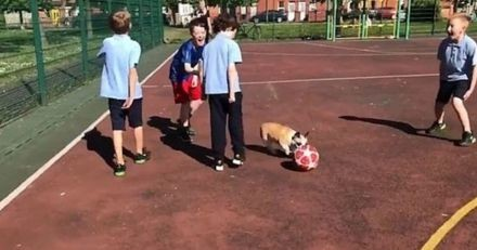 Ce Bouledogue français étonne tout le monde au milieu d'un match de football (Vidéo)