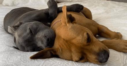 Deux chiens jouent dans le jardin : la propriétaire se met à courir quand elle découvre sa Staffordshire agonisante